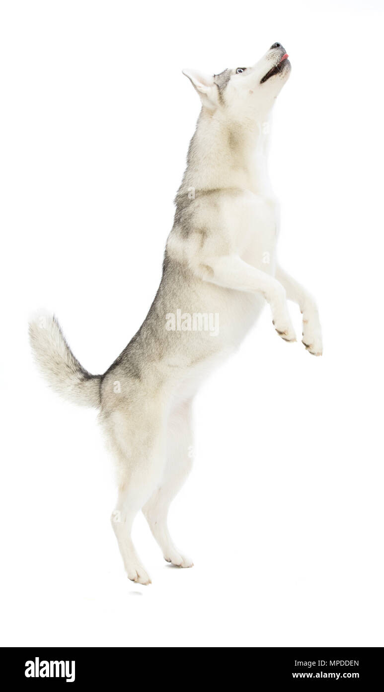 Siberian Husky jumping on his two hind legs on white background - Stock Image