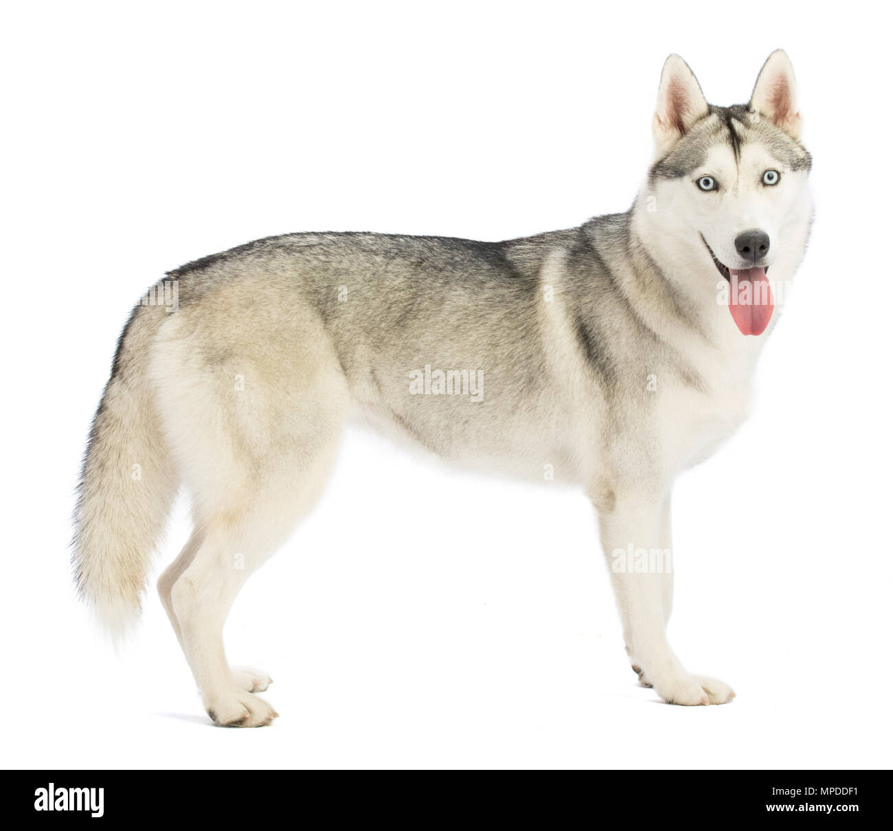 Siberian Husky standing in profile looking from the front on white background - Stock Image