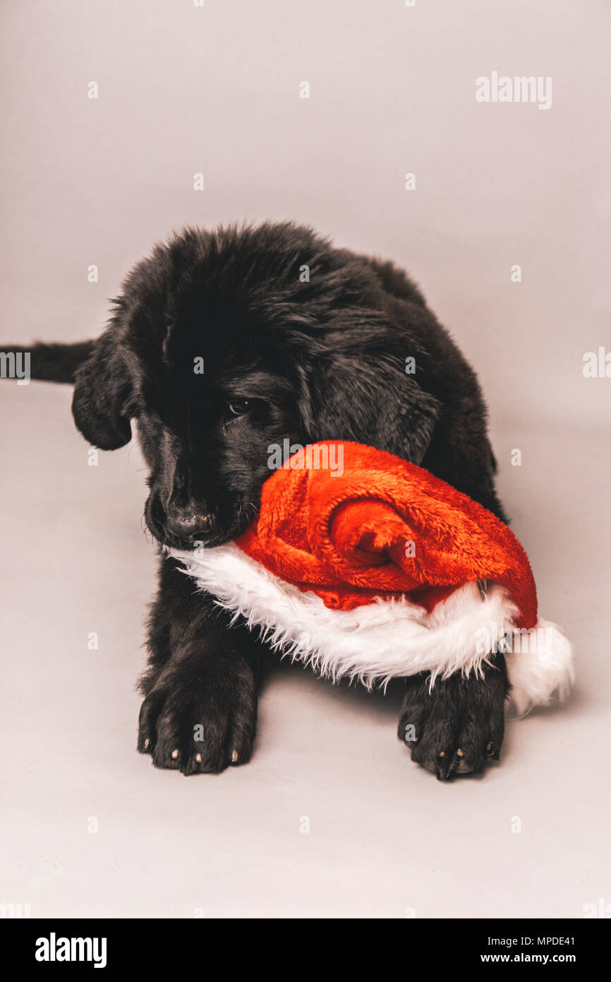 Black newfoundland puppy laying down on the floor while chewing on a red santa claus party hat against a grey seamless background - Stock Image