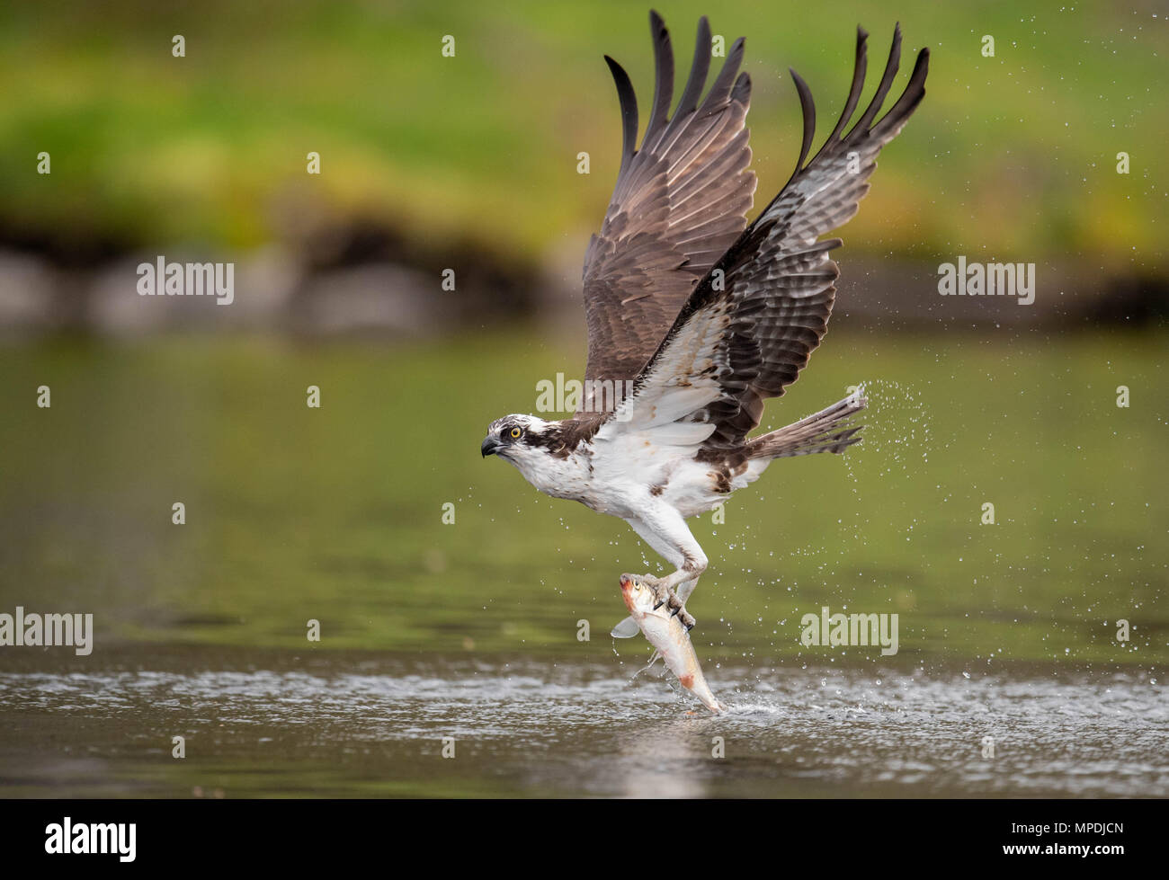 Osprey Fishing Stock Photo