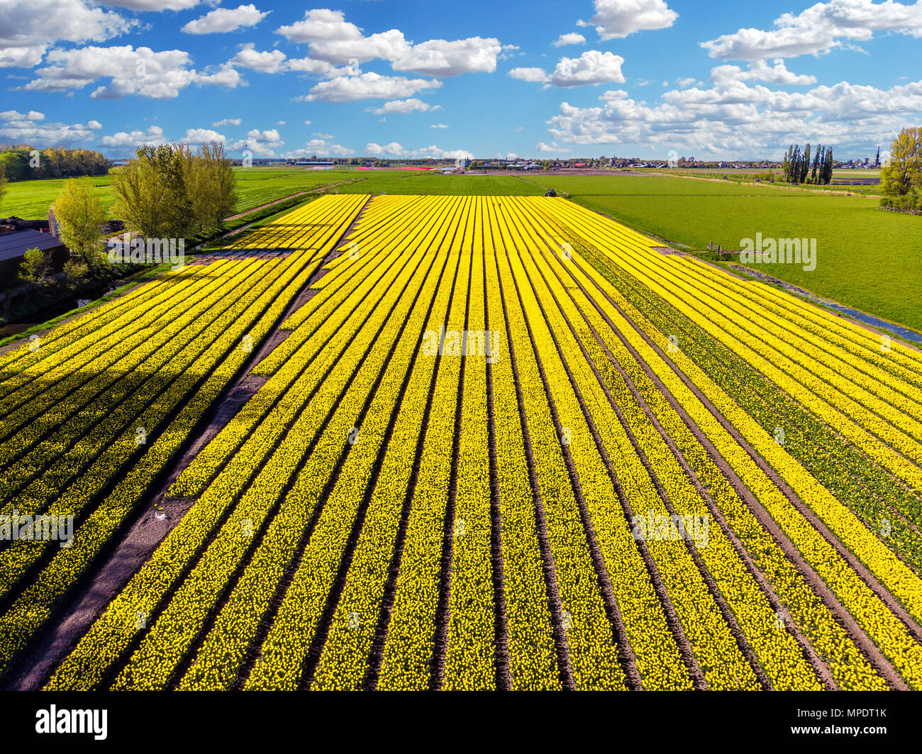Yellow tulip field in the Netherlands from a higher perspective - Stock Image