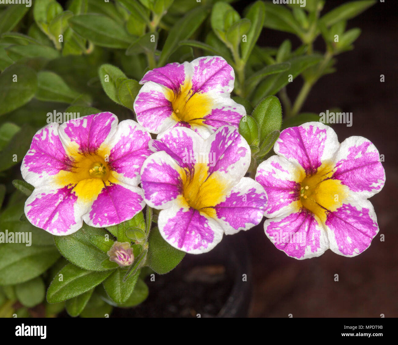 Cluster Of Spectacular And Unusual Pink And White Flowers With