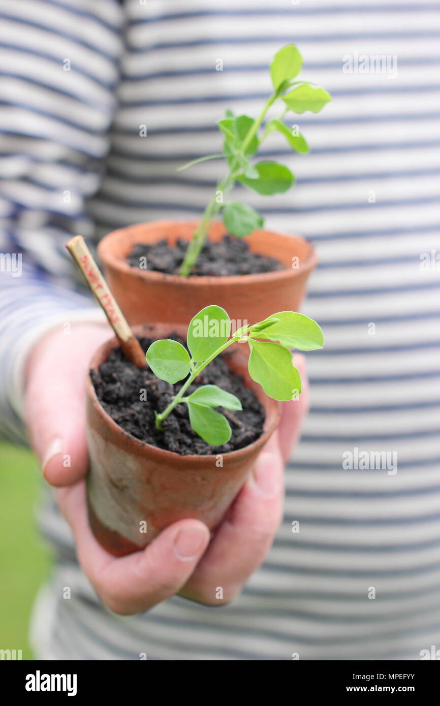 Lathyrus odoratus.Sweet pea seedlings in clay pots, that accommodate long roots and plastic free gardening, ready for planting out - Stock Image