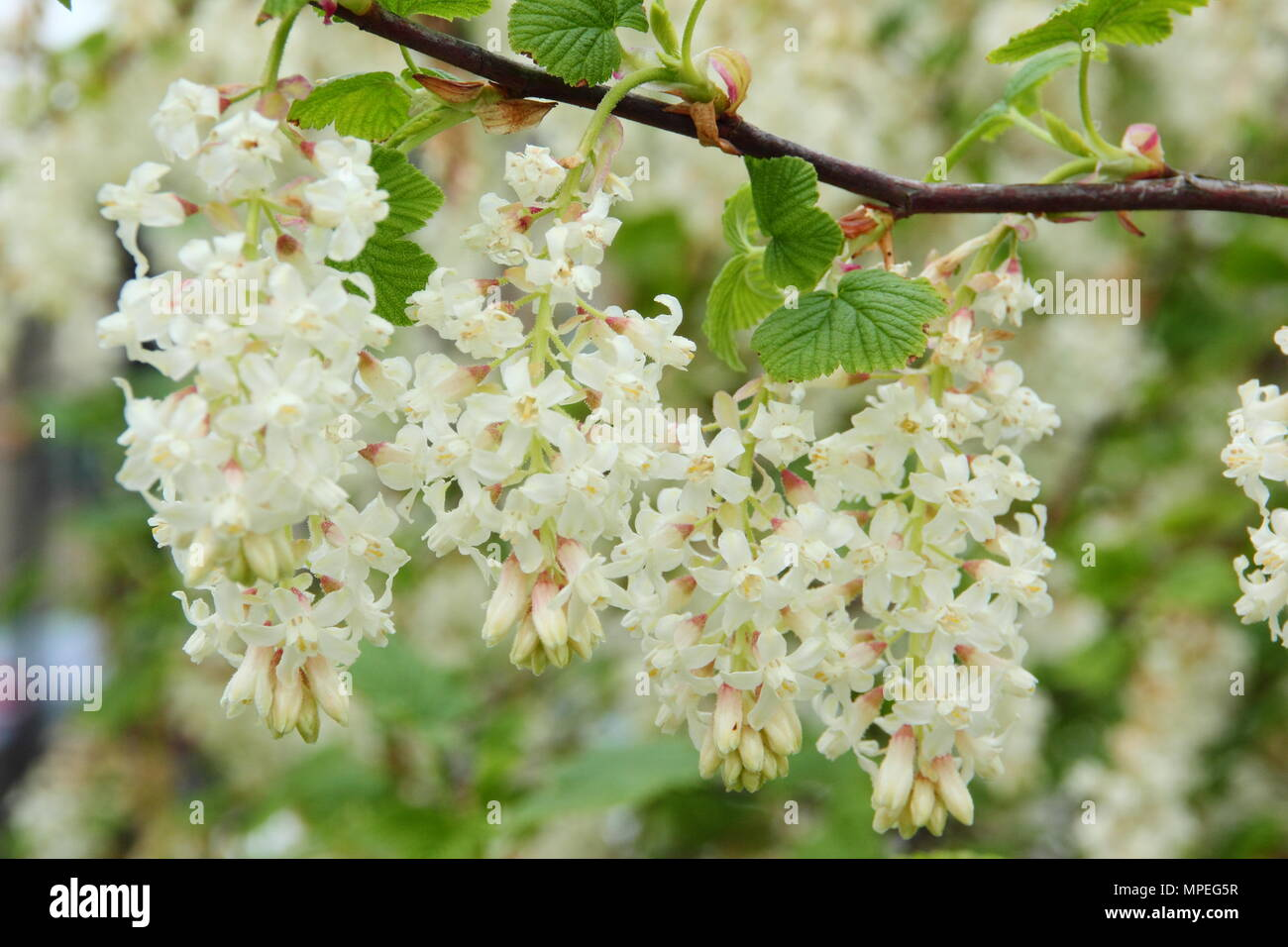 Blossoms of flowering currant ribes sanguineum white icicle in a blossoms of flowering currant ribes sanguineum white icicle in a spring garden uk mightylinksfo
