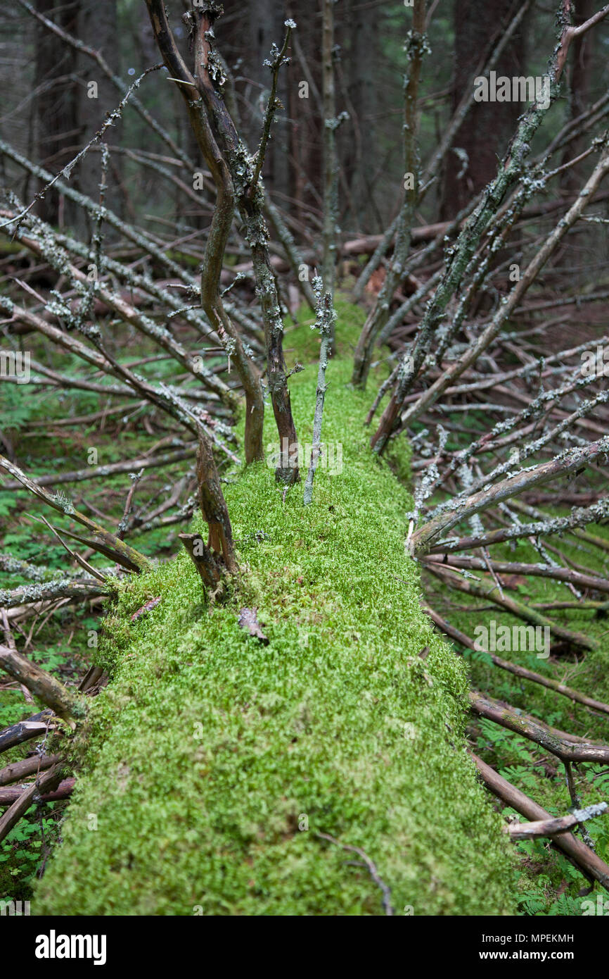 An old tree with old branches is laying on the ground filled with growing green moss. - Stock Image