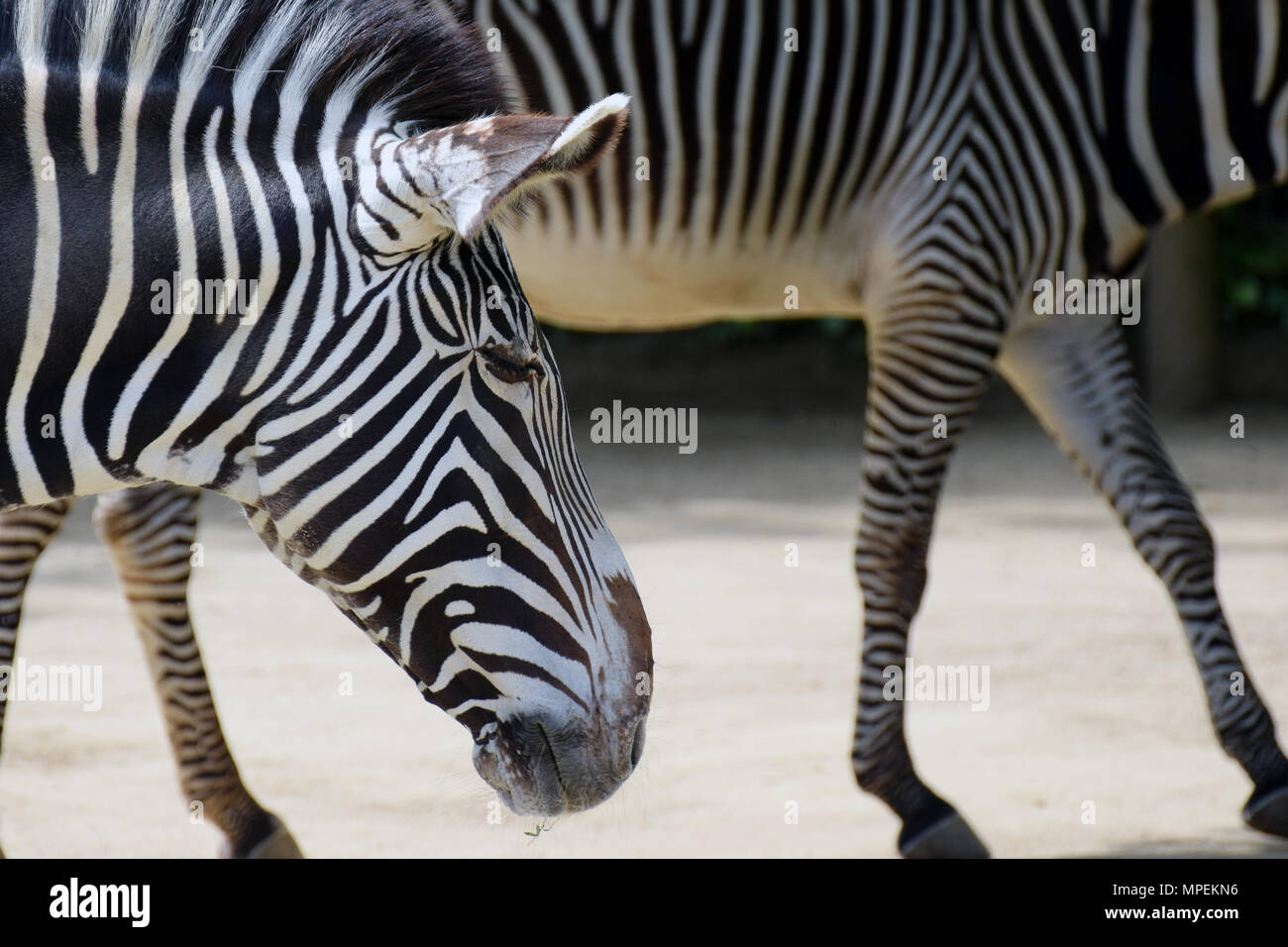 Grevy's Zebras (Equus grevyi), also known as the imperial zebra. - Stock Image