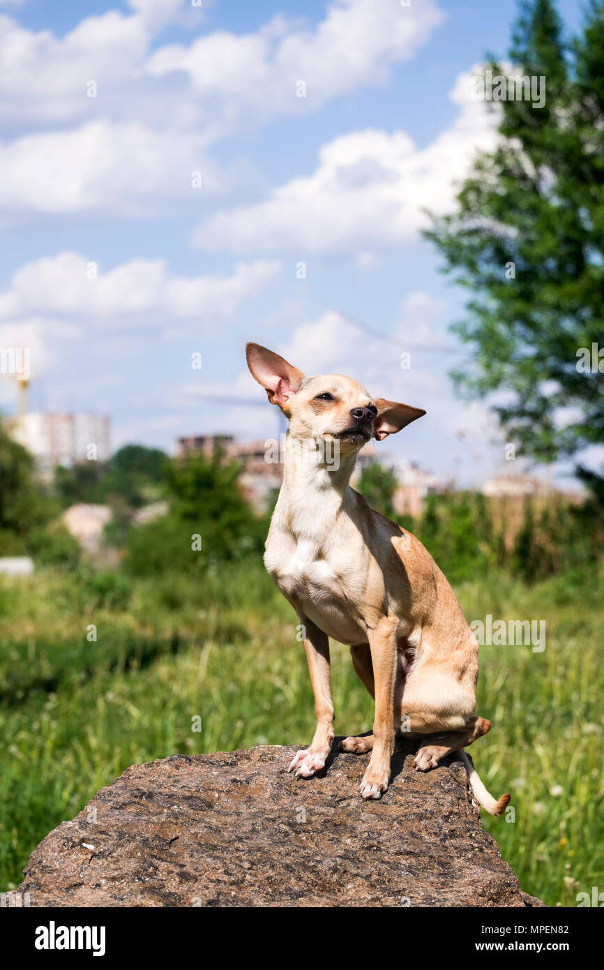 Russian smooth-coated Toy Terrier set his ears apart, sitting on a stone (Canis lupus familiaris) - Stock Image