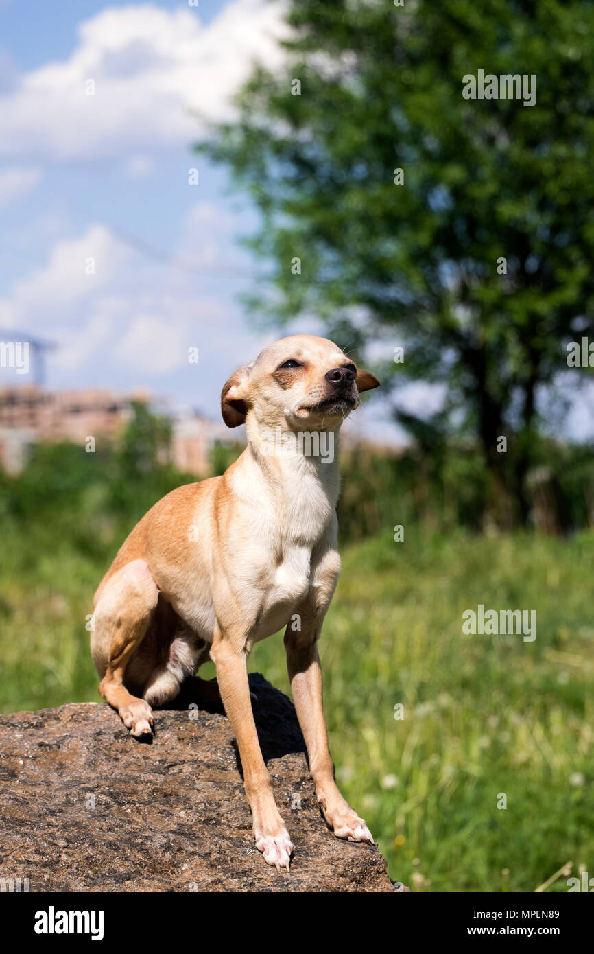 Russian smooth-coated Toy Terrier sits on a stone in proud solitude (Canis lupus familiaris) - Stock Image