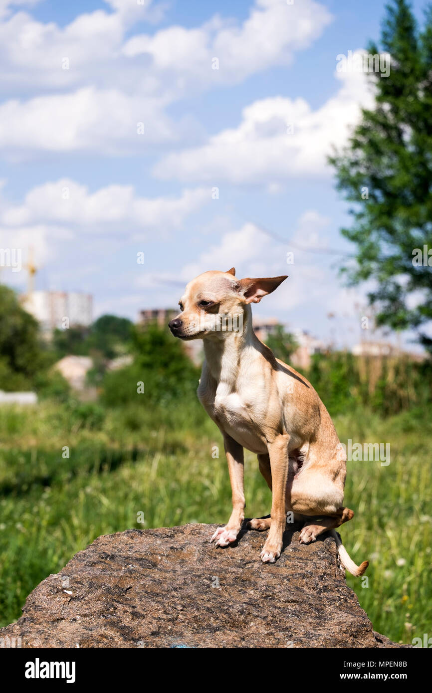 Russian smooth-coated Toy Terrier sits proudly on a rock (Canis lupus familiaris) - Stock Image