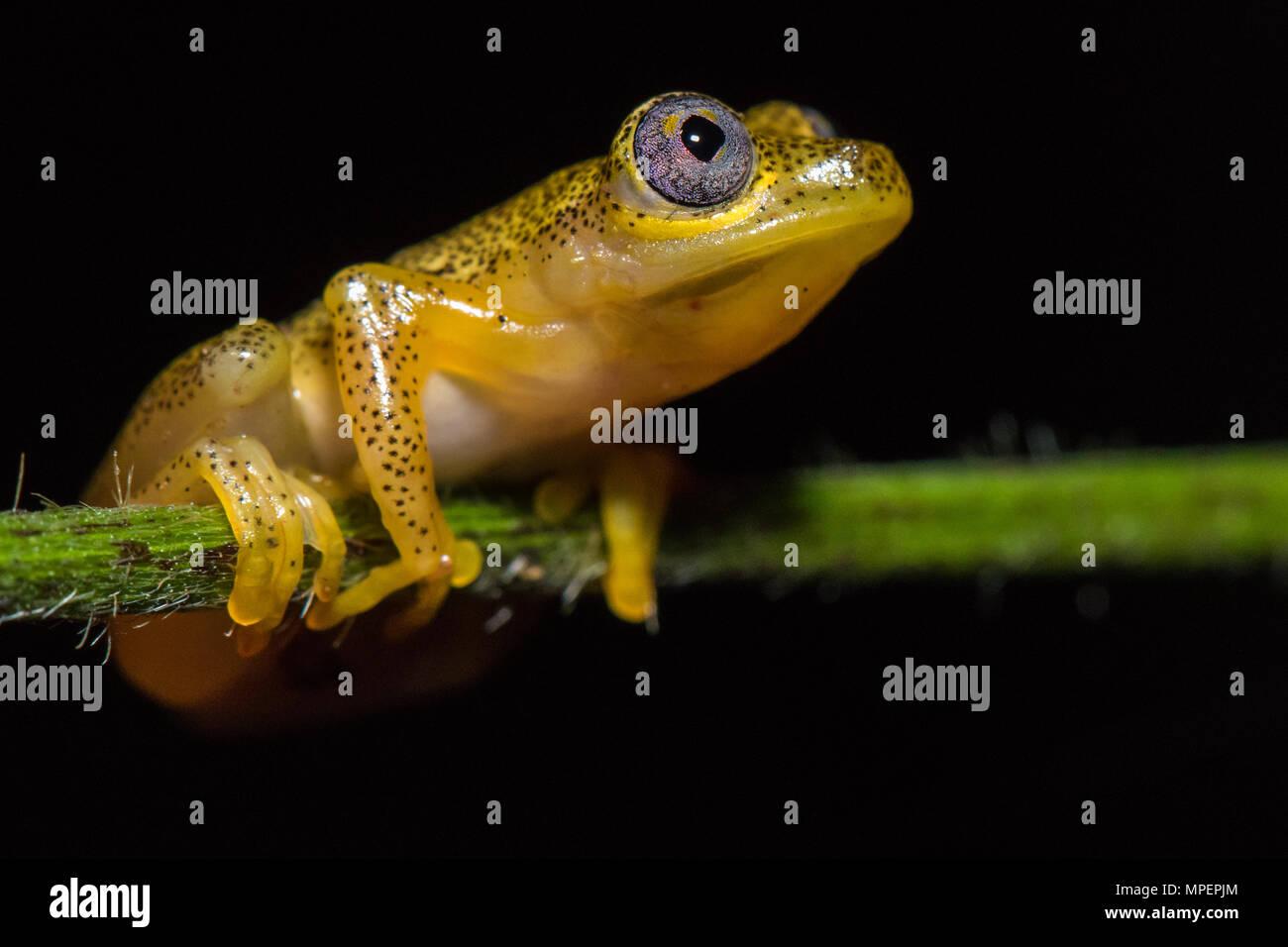 Reedfrog species (Heterixalus punctatus), Andasibe National Park, Madagascar - Stock Image
