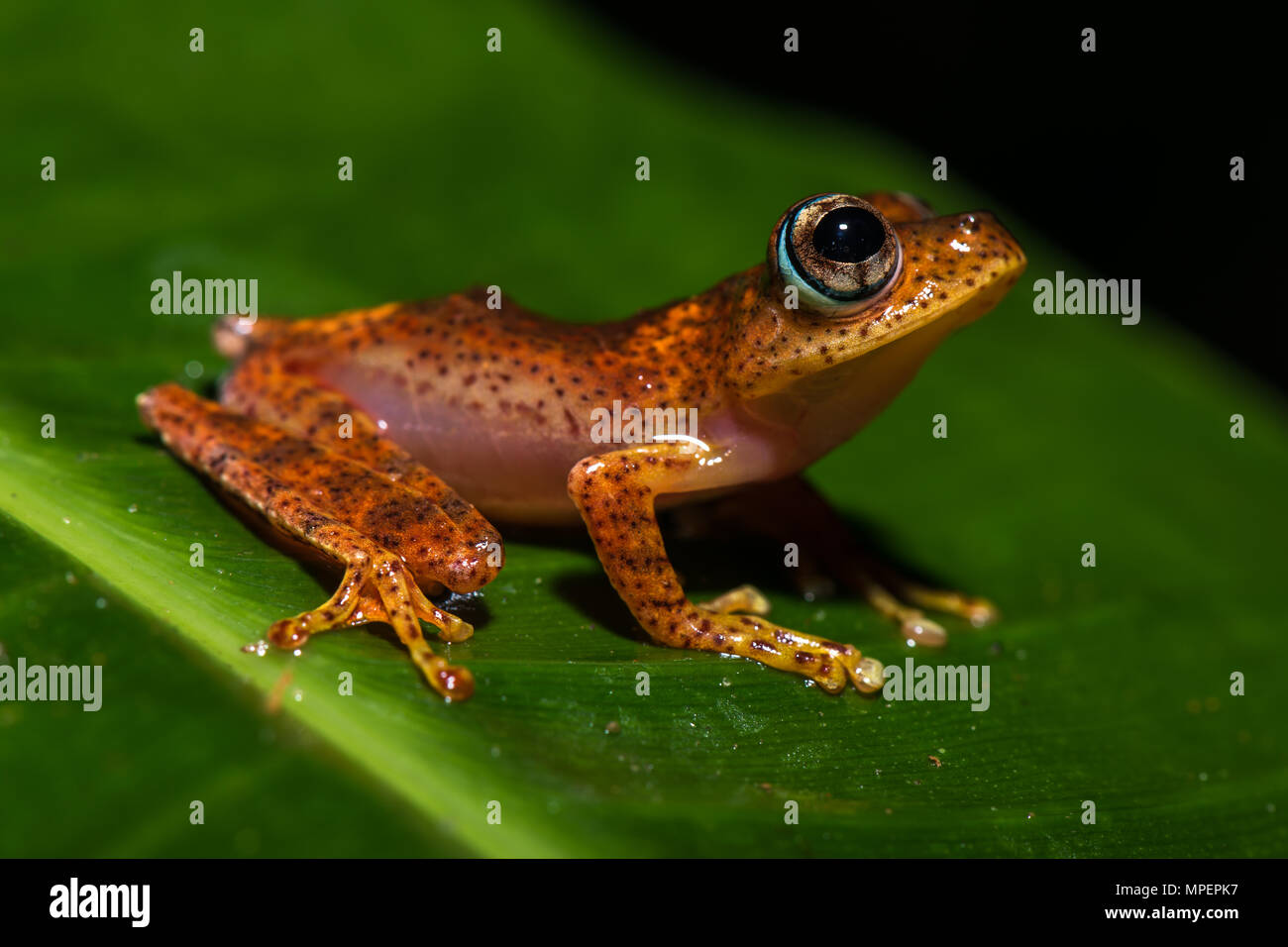 Tree climbing frog species (Boophis pyrrhus) sits on leaf, Andasibe National Park, Madagascar - Stock Image