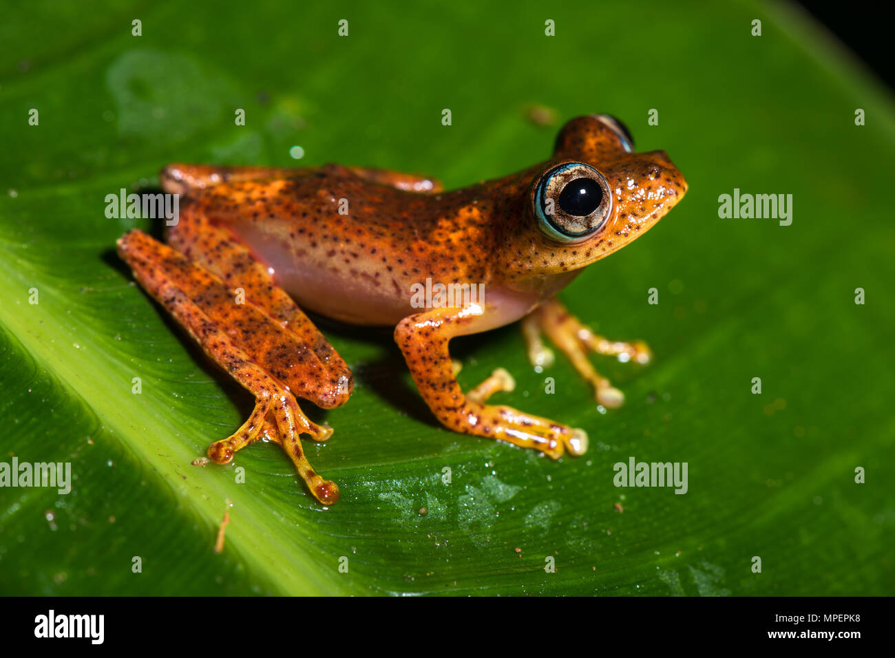 Tree climbing frog species (Boophis pyrrhus) sits on leaf, Andasibe National Park, Madagascar Stock Photo