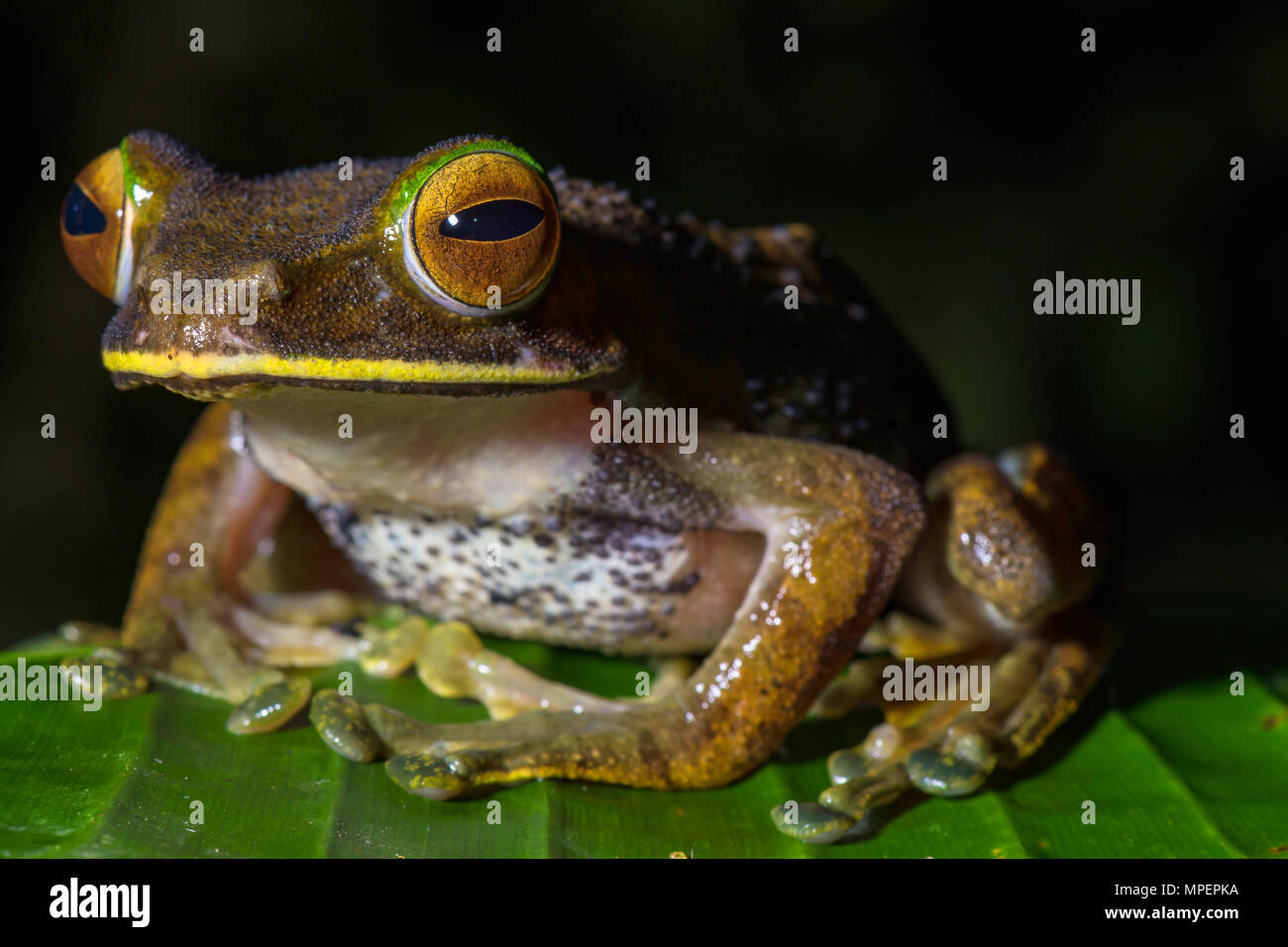 Tree climbing frog species (Boophis albilabris), male sitting on leaf, Andasibe National Park, Madagascar - Stock Image