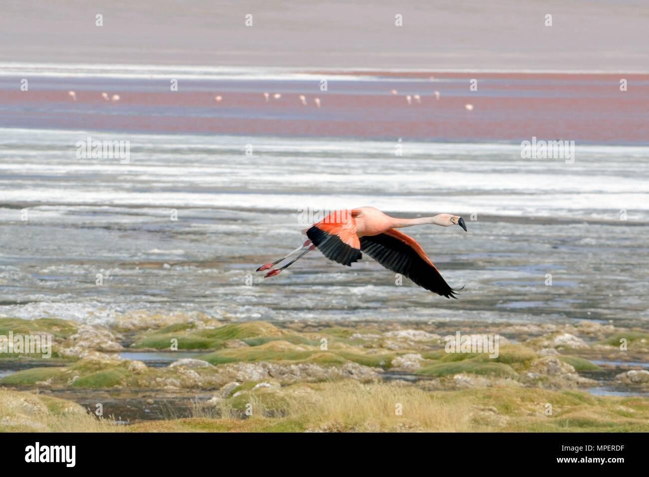 Flamingos , Bolivian Andes - Stock Image