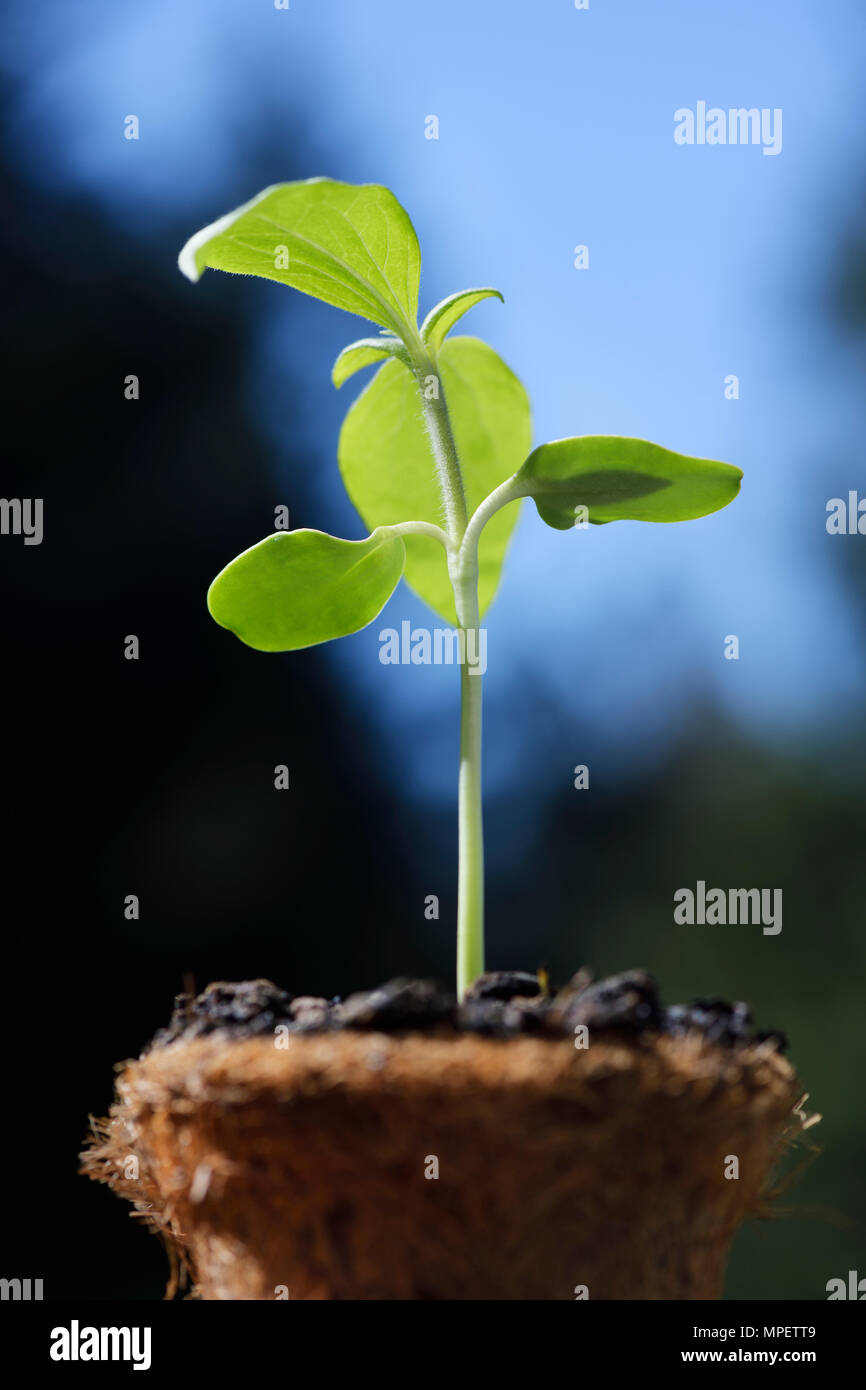 Artistic closeup of a sunflower plant seedling in a coco coir pot, coconut fiber pot on blue sky background Stock Photo