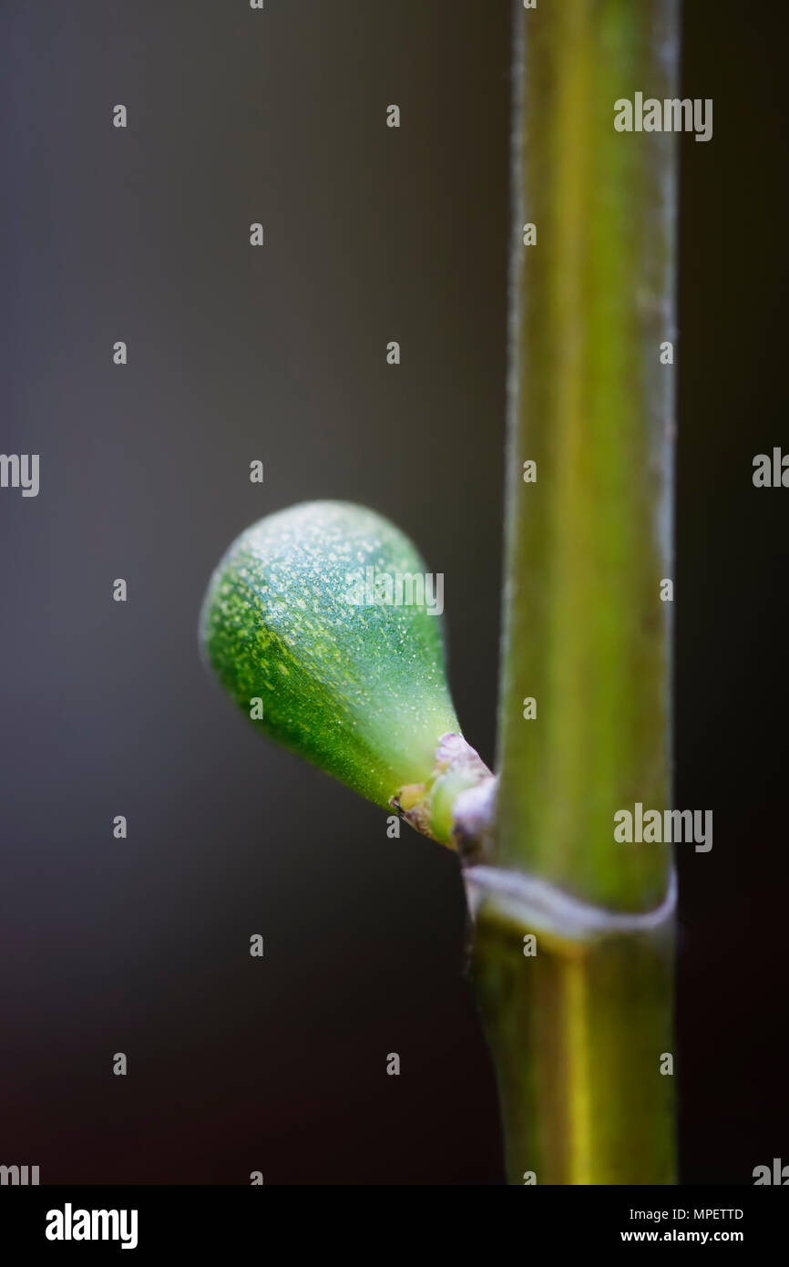 Closeup of a developing small green fig tree fruit on a branch - Stock Image