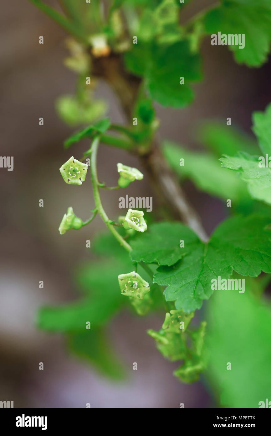 Closeup of red currant blossom flowers on a plant Stock Photo