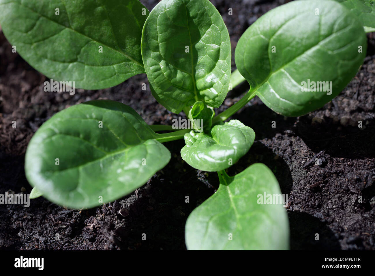 Closeup of a young organic spinach plant growing in natural soil Stock Photo