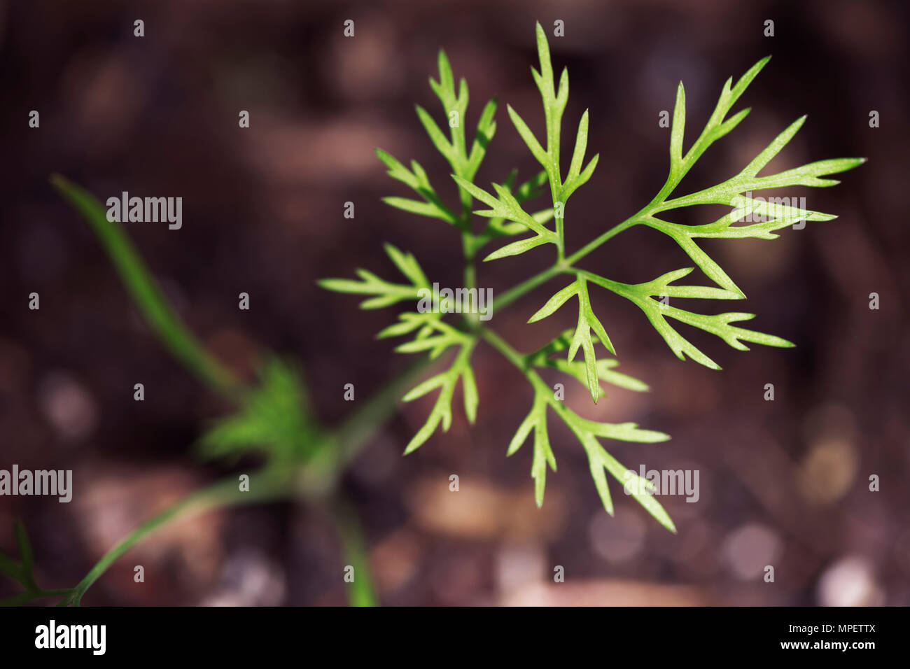 Closeup of a young dill herb seedling sprouting from the soil Stock Photo
