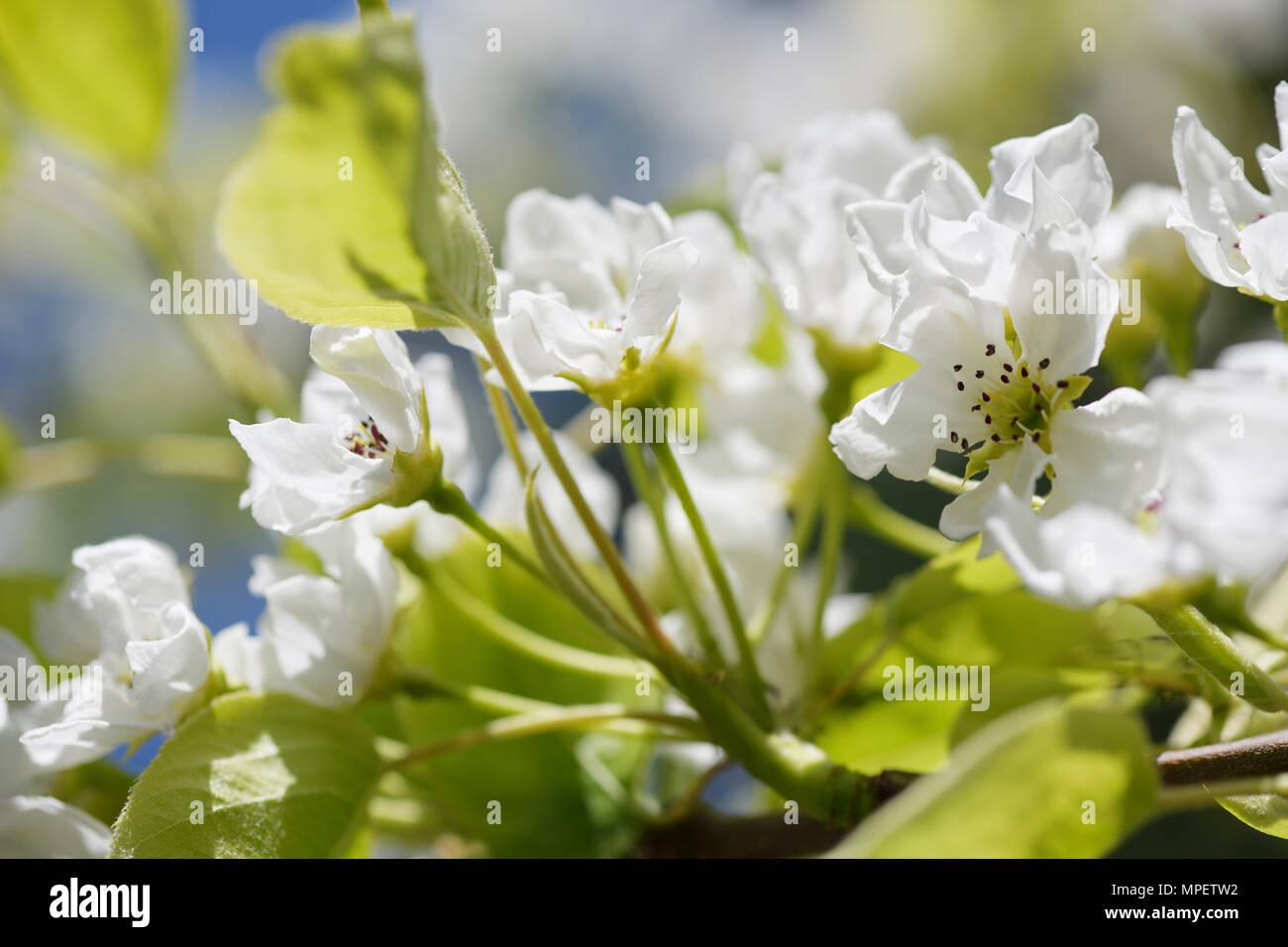 Closeup of Asian pear blossoms, Nashi pear, Pyrus pyrifolia, beautiful white flowers in sunlight Stock Photo