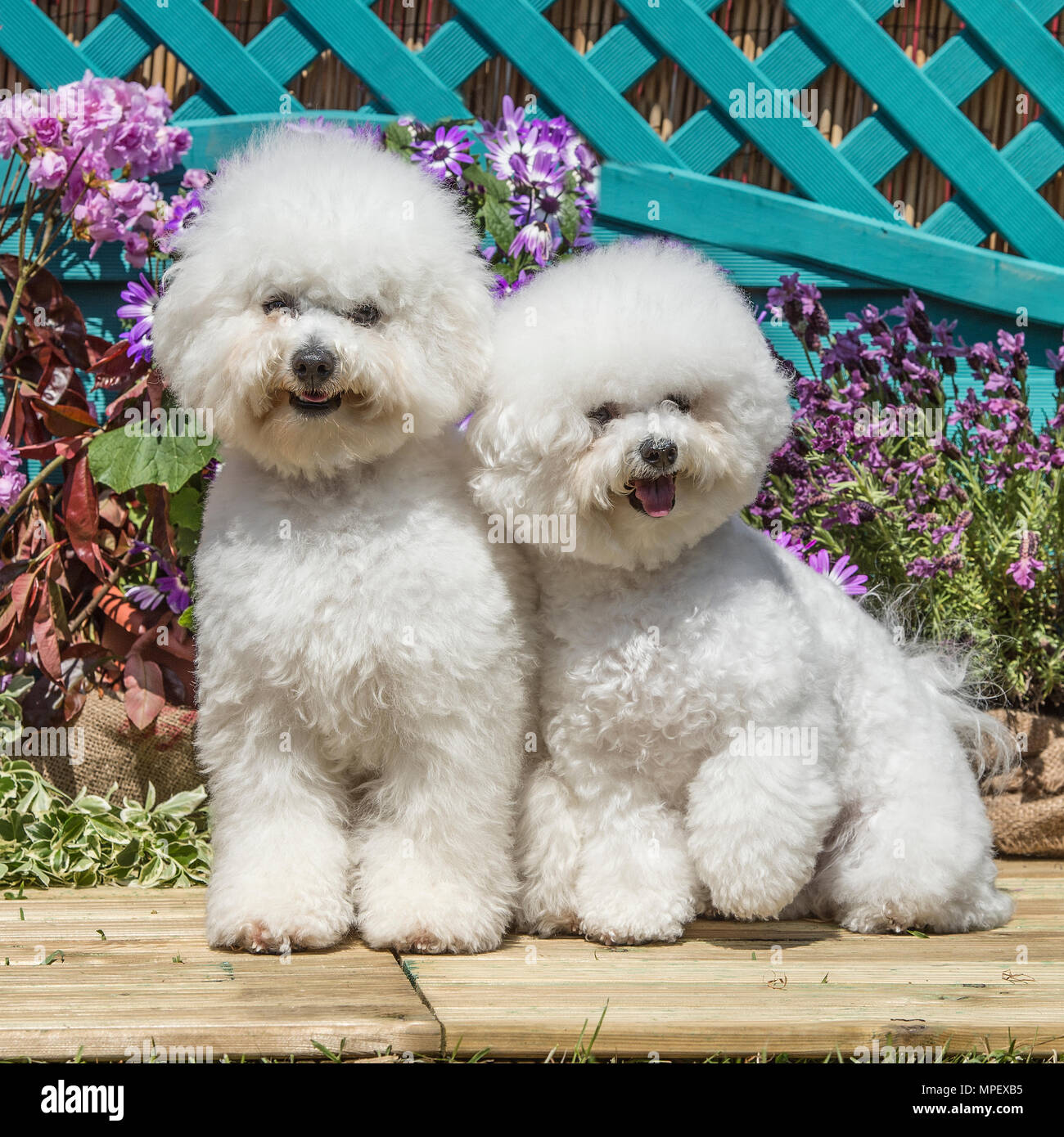 2 Bichon Frise Stock Photos & 2 Bichon Frise Stock Images