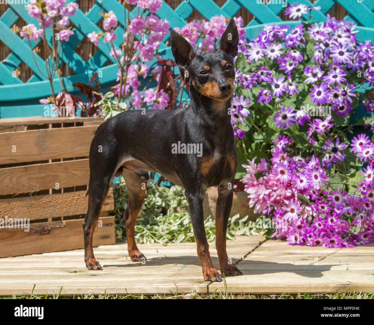 444340f567d233 English Toy Terrier Stock Photos & English Toy Terrier Stock Images ...