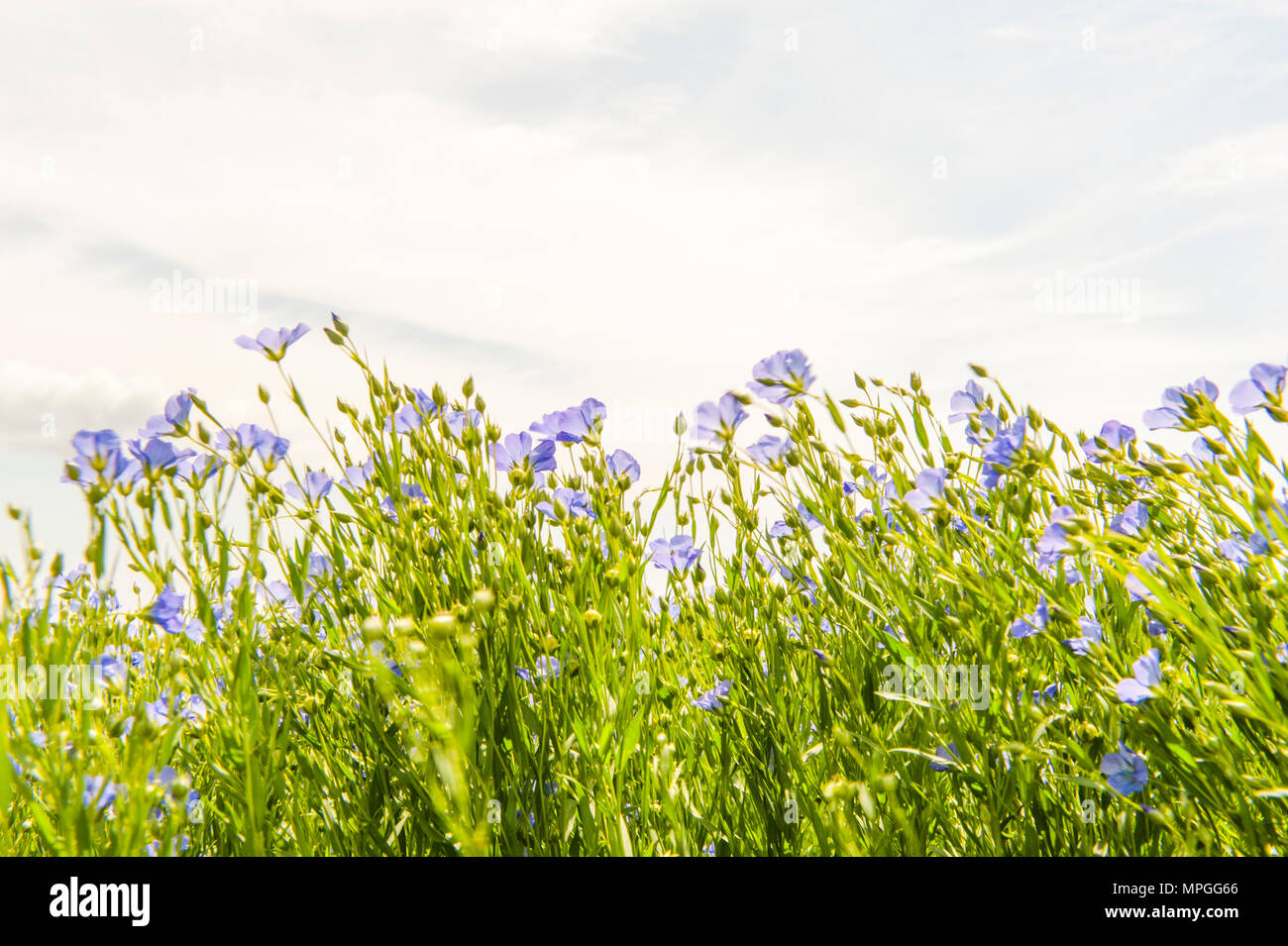 Flax in blossom on the Île d'Oléron, France - Stock Image
