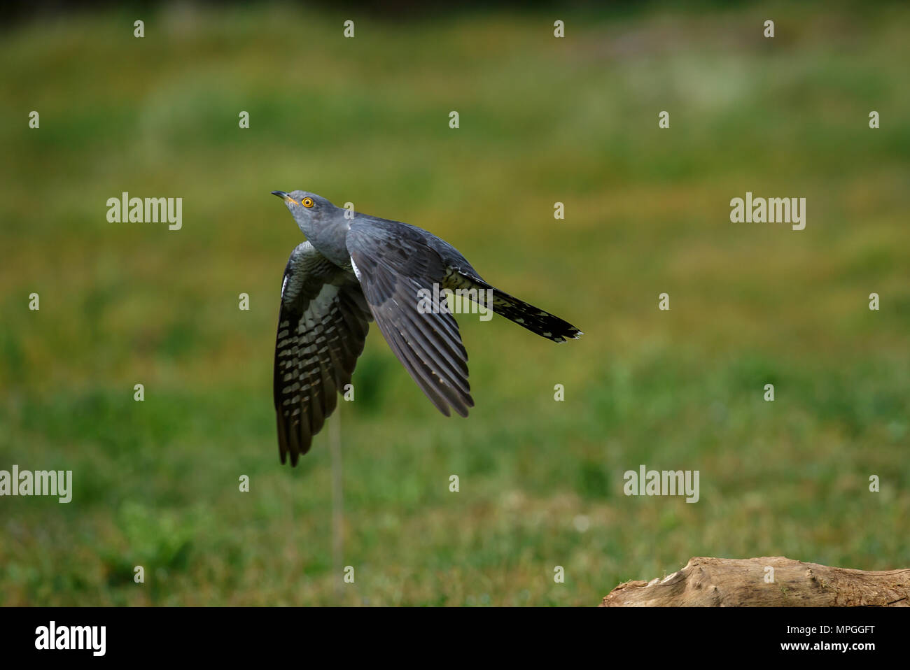 A Common cuckoo in flight - Stock Image