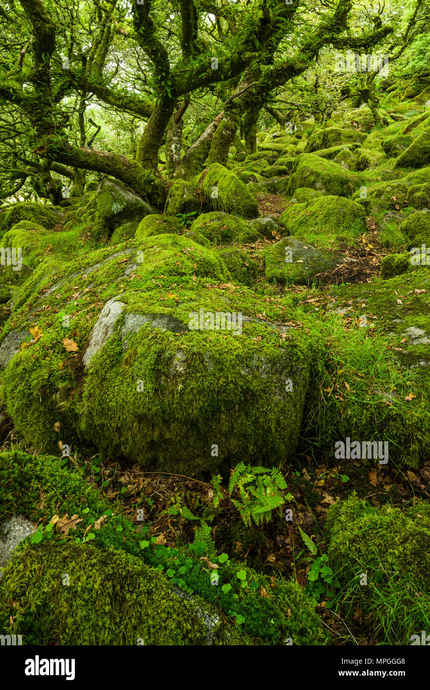 Wistman's Wood, a Site of Special Scientific Interest, in early autumn in Dartmoor National Park, Devon, England. - Stock Image