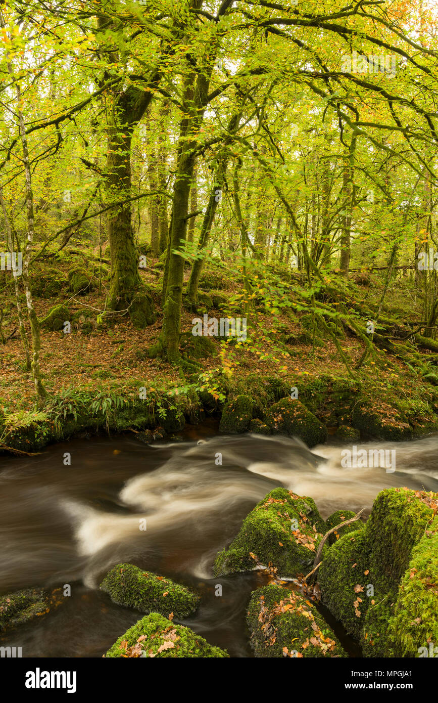 River Bovey in Houndtor Wood during Autumn in Dartmoor National park, Devon, England. - Stock Image