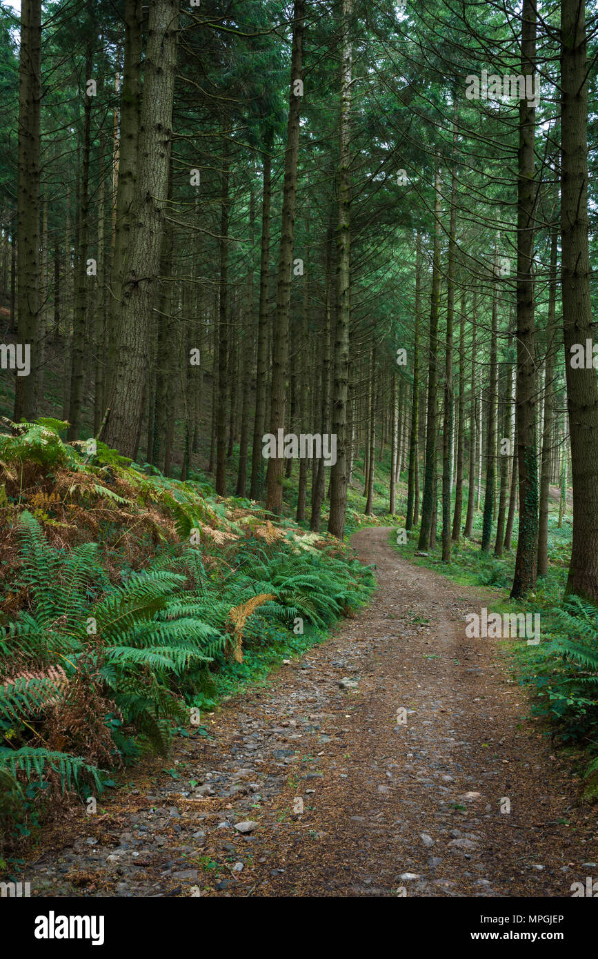 Conifer plantation in Houndtor Wood in Dartmoor National park, Devon, England. - Stock Image