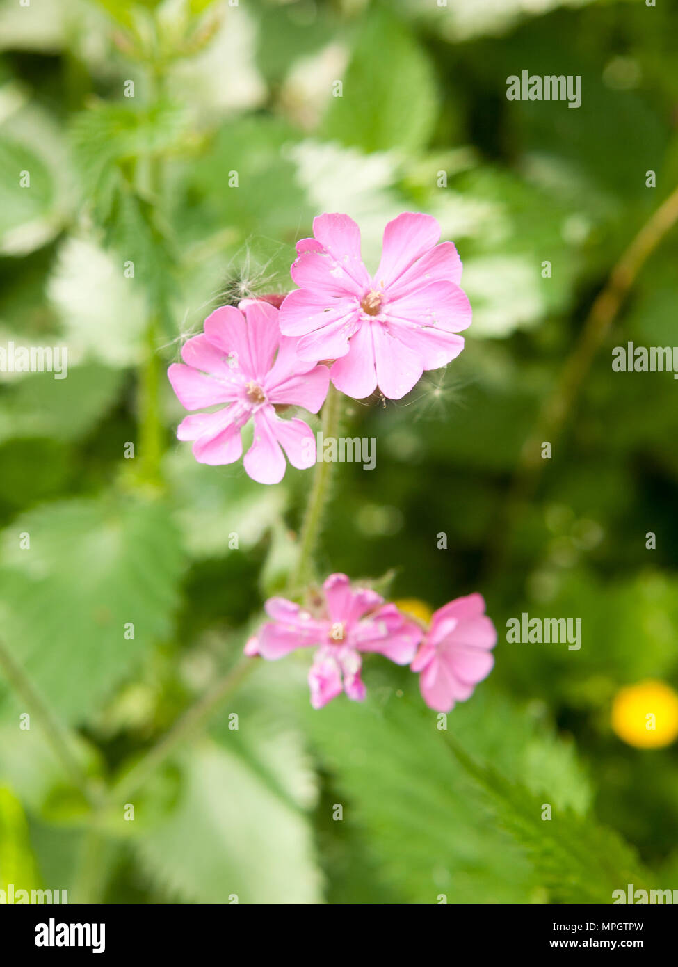 Pink campion flower stock photos pink campion flower stock images close up of beautiful pink campion flower head spring essex england uk mightylinksfo