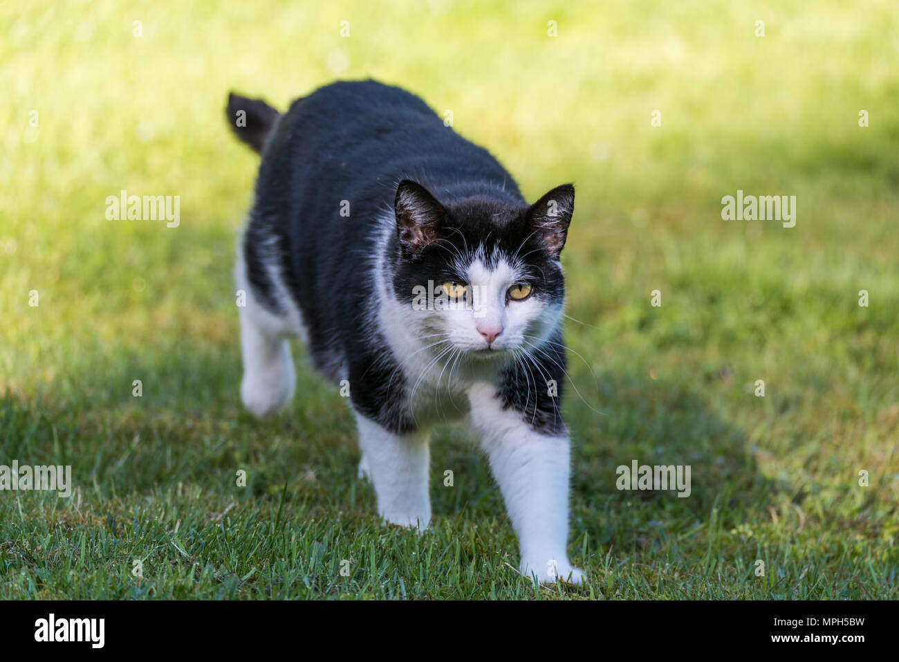 black and white cat walking in gras in a swedish garden stock photo