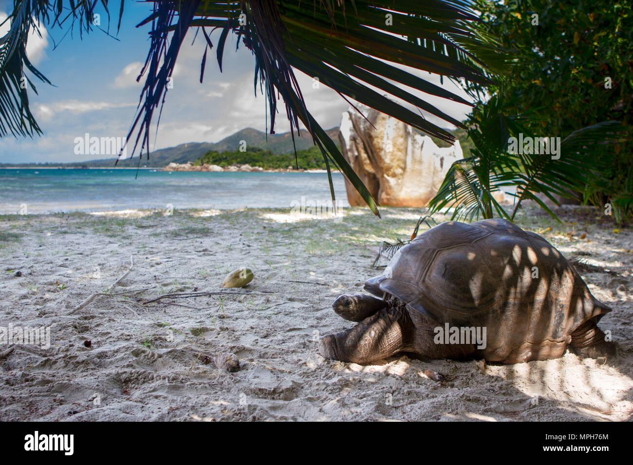 Aldabra giant tortoise (Aldabrachelys gigantea) on the beach on Curieuse, Seychelles. Stock Photo