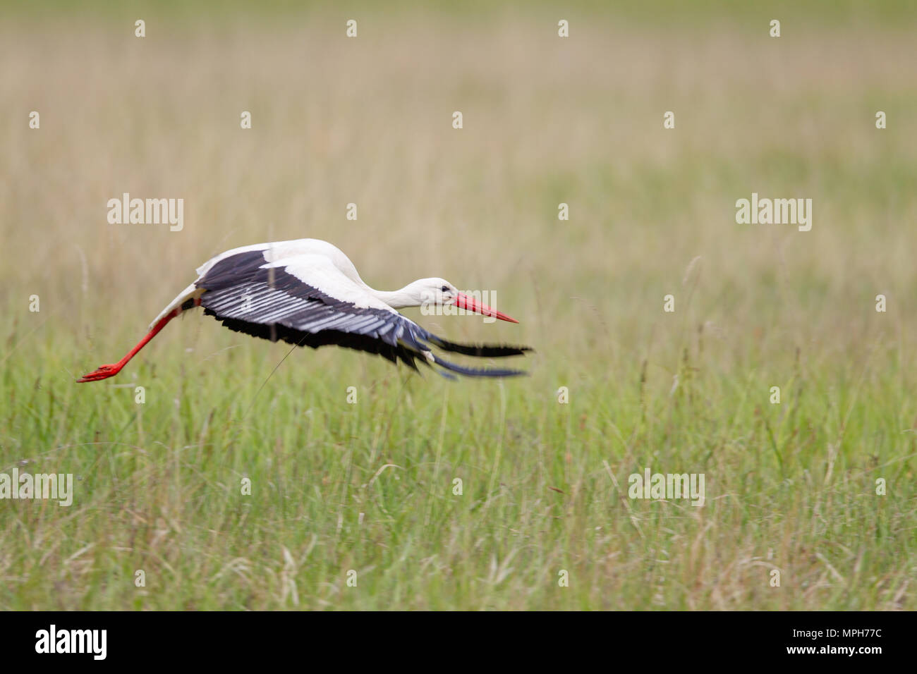 White Stork (Ciconia ciconia) flying over a meadow in spring in the nature protection area Mönchbruch near Frankfurt, Germany. Stock Photo