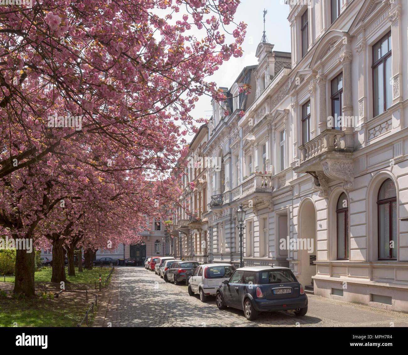 Krefeld, Alexanderplatz mit blühenden Kirschbäumen - Stock Image