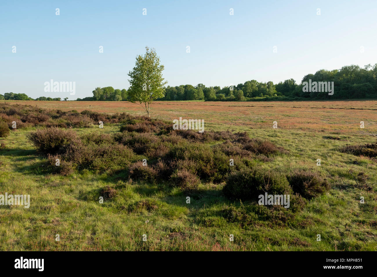 Krefeld-Traar, Egelsberg, Heidelandschaft mit blühendem Flohknöterich - Stock Image