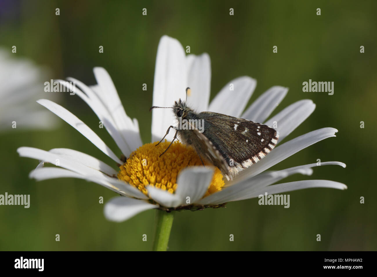 Dusky Grizzled Skipper (Pyrgus cacaliae) resting in an Oxeye Daisy Stock Photo