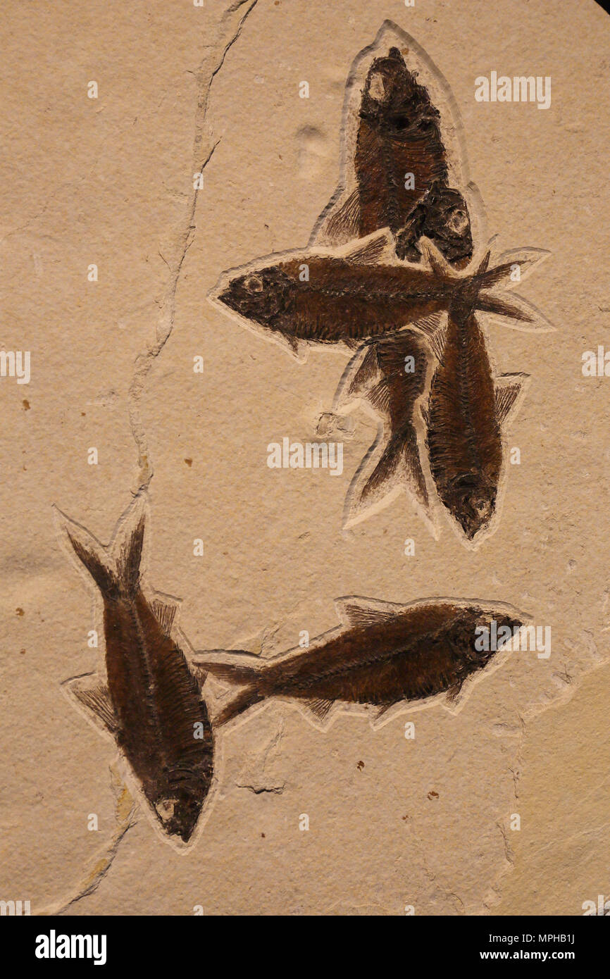 Fossilized fish in matrix - Stock Image