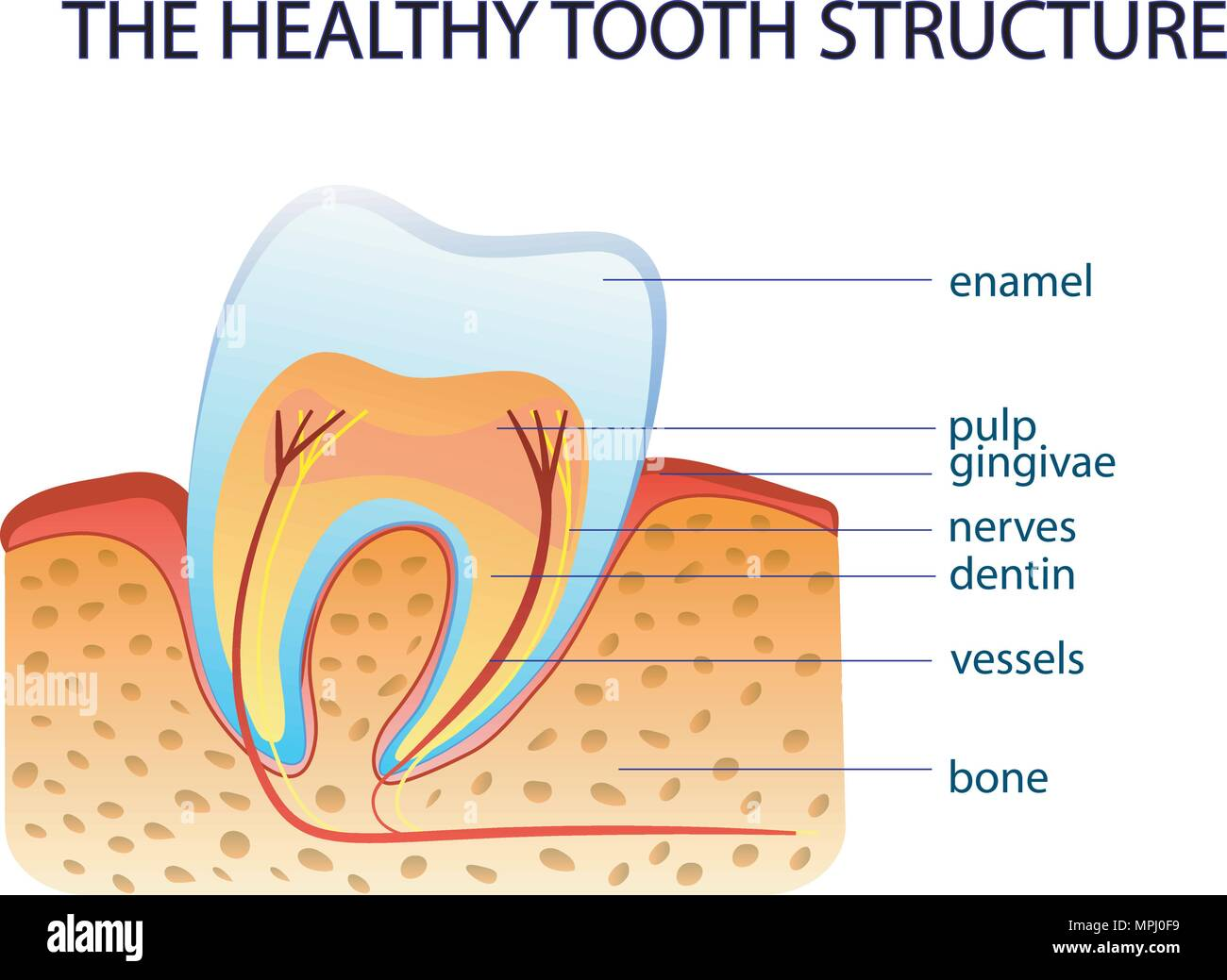 ILLUSTRFTION OF THE HEALTHY TOOTH STRUCTURE. anatomy Stock Vector ...