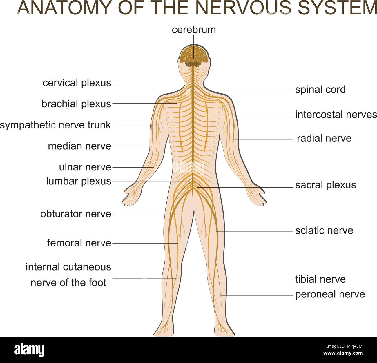 Illustration Of The Structure Of The Human Nervous System Stock