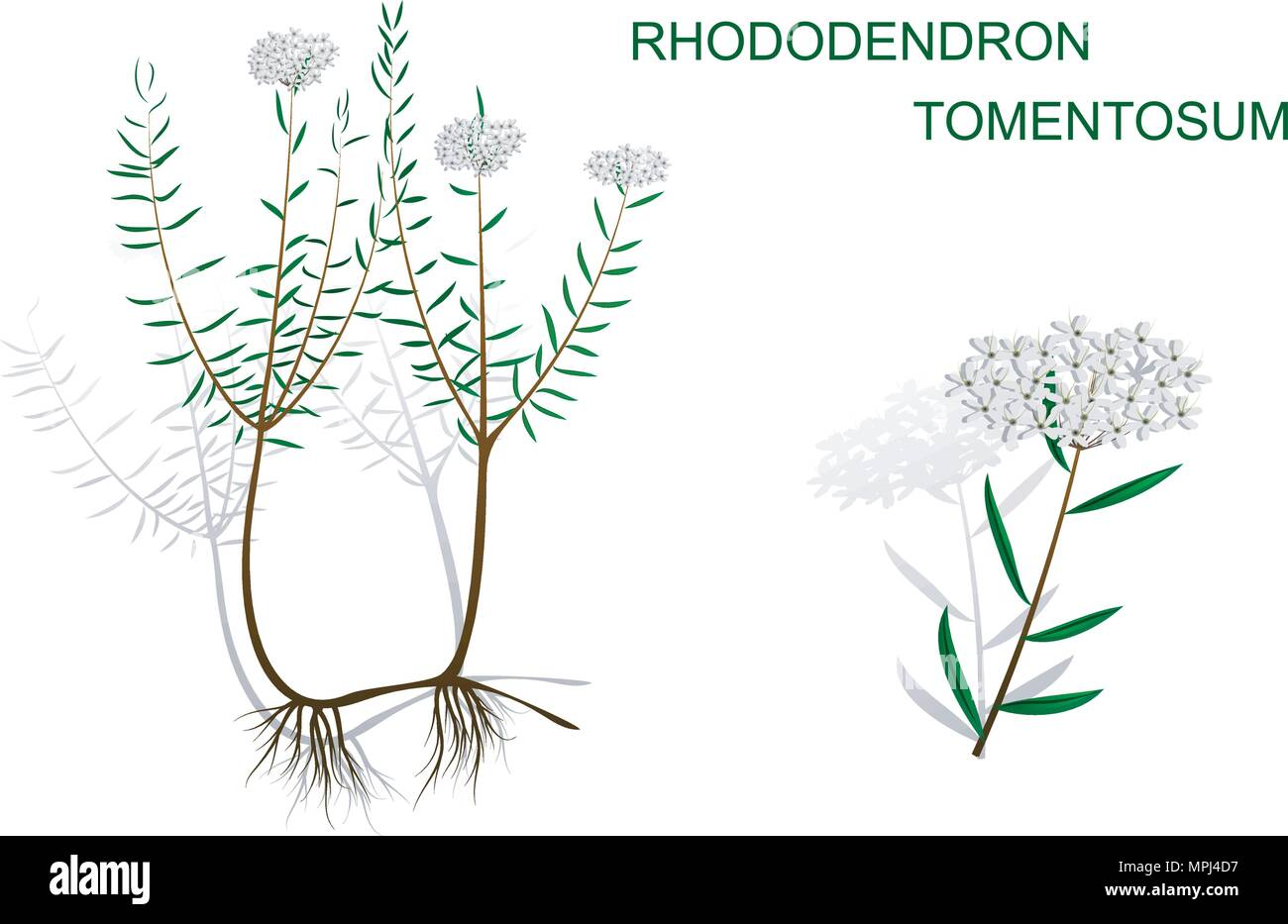 ILLUSTRATION OF WILD ROSEMARY WITH ROOT AND INFLORESCENCE - Stock Vector