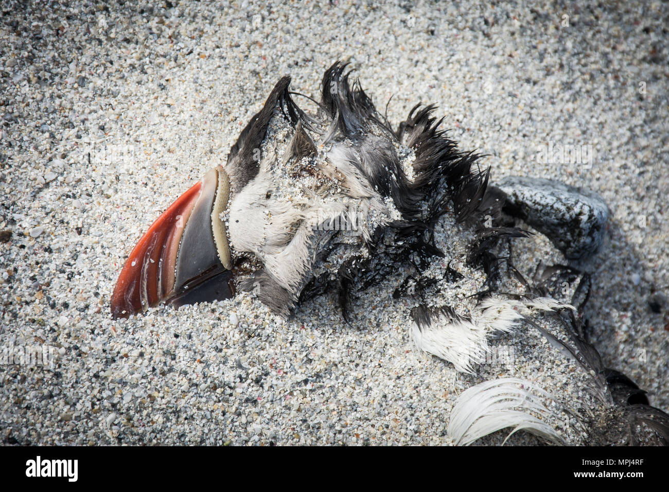 Close up of dead Atlantic Puffin or Fratercula Arctica washed up on a sandy beach on North Uist, Outer Hebrides, Scotland, as a result of starvation. - Stock Image