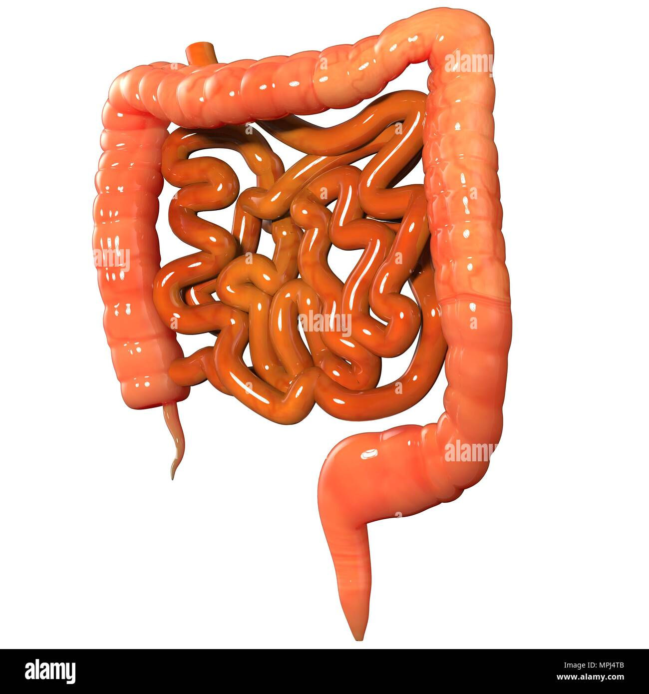 Human Digestive System Large And Small Intestine Anatomy Stock Photo