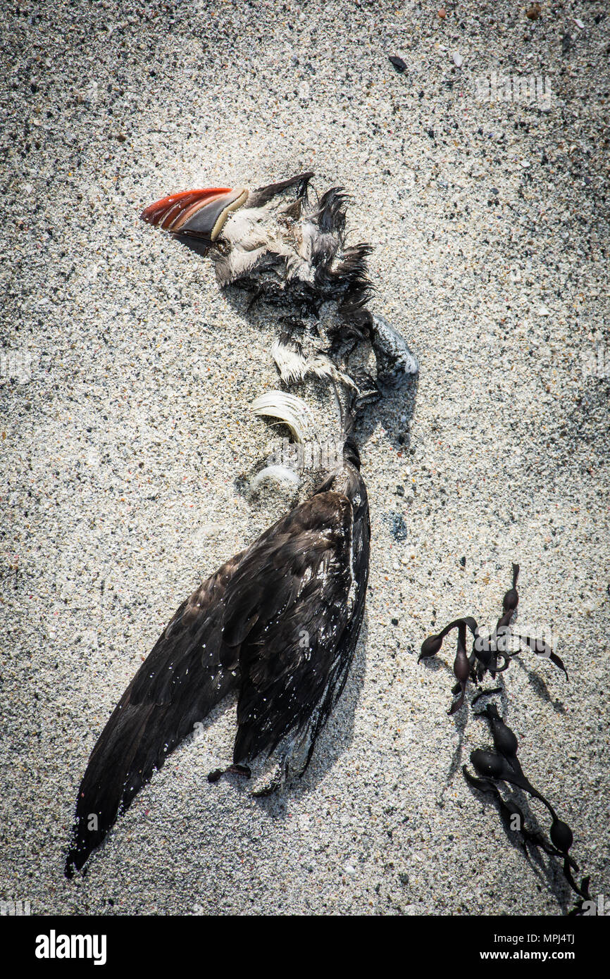 Dead Atlantic puffin washed up on sandy beach on North Uist, Outer Hebrides, as a result of starvation due to the global warming and climate change. - Stock Image