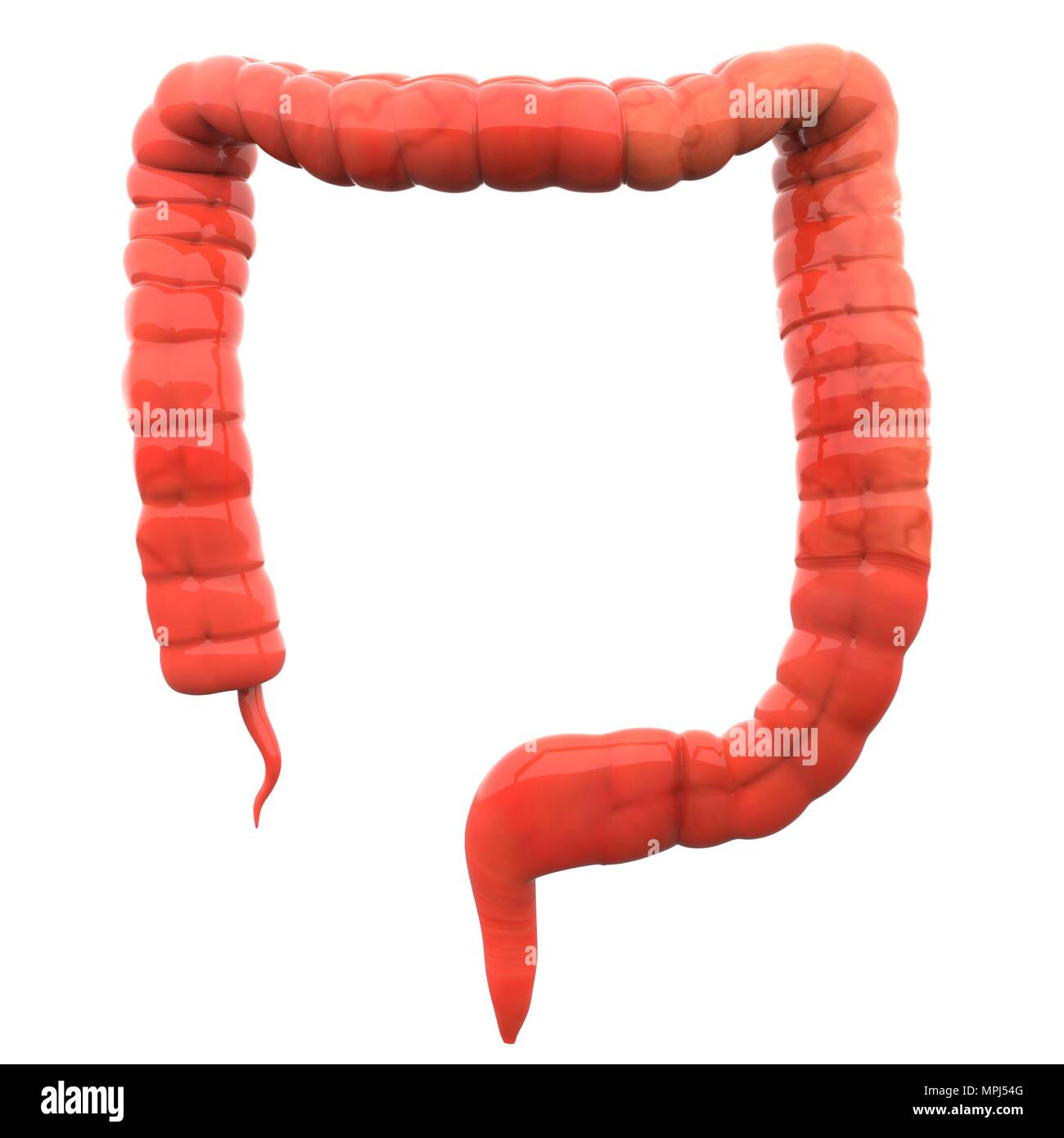 Human Digestive System Large Intestine Anatomy Stock Photo