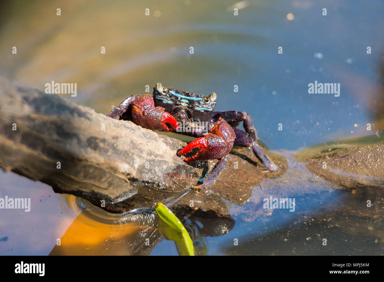 Beautiful Meder's Mangrove Crab holding trunk of tree in swamp - Stock Image
