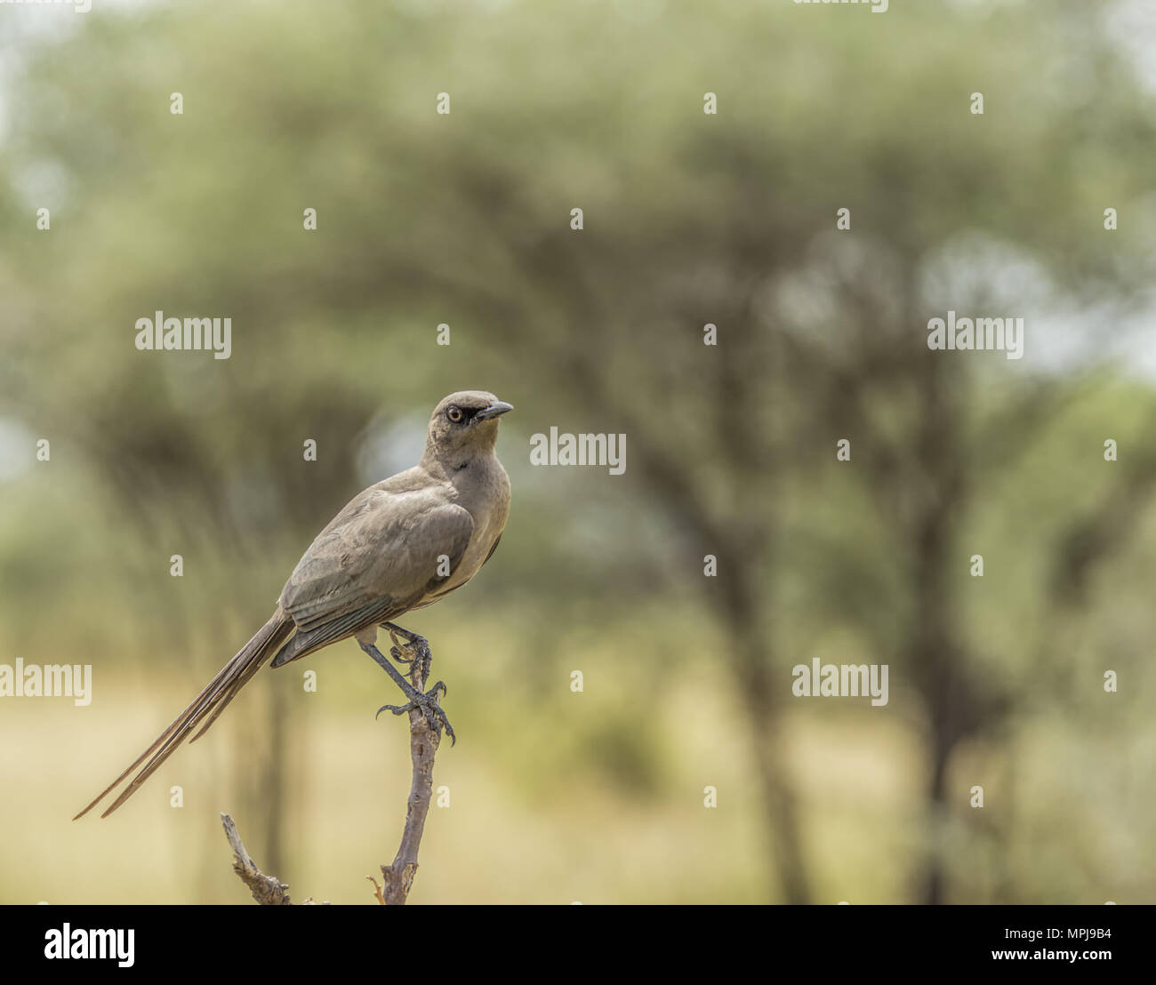 Ashy Starling-Cosmopsarus unicolor in Lake Manyara, Tanzania, Africa - Stock Image