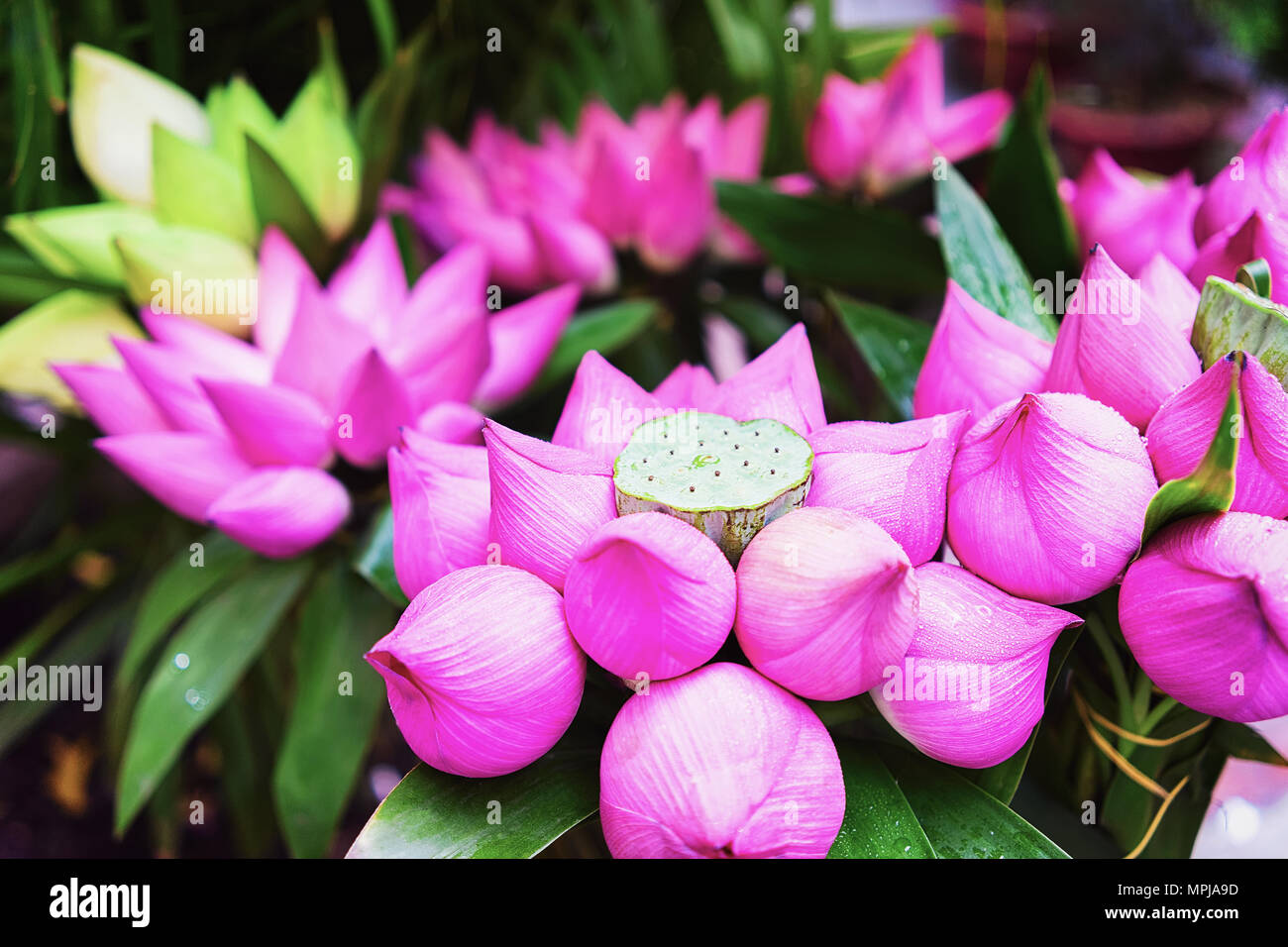 Bunch Of Lotus Flowers In Chi Minh City Vietnam Stock Photo