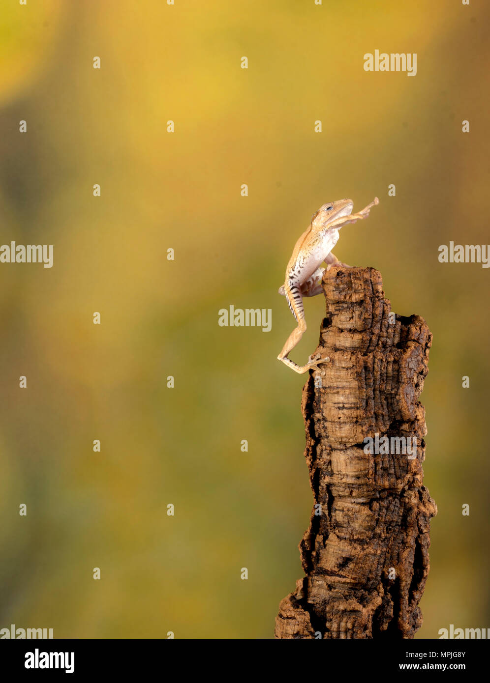 a frog celebrating his victory of reaching the top! - Stock Image